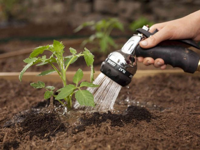 How to water tomatoes in the open ground