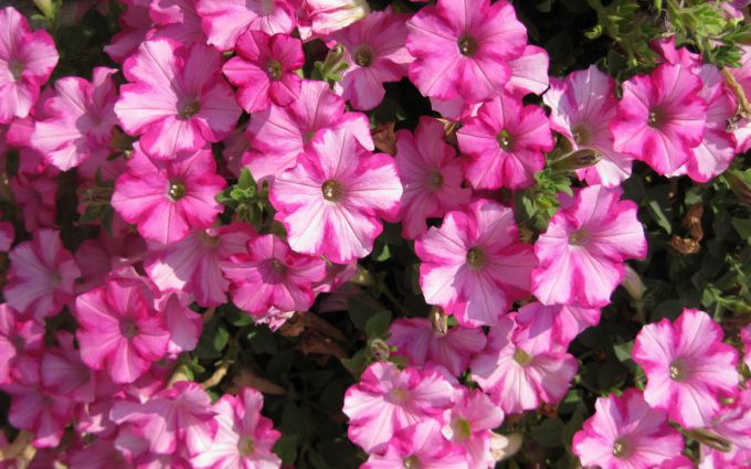 How to achieve a gorgeous flowering petunias