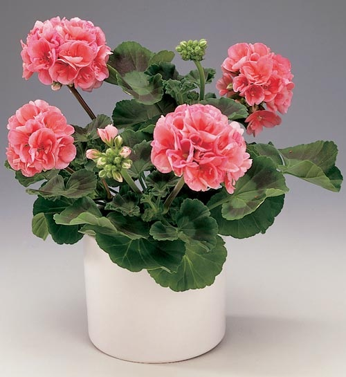 Пеларгония имеет широкий диапазон расцветок и сортов