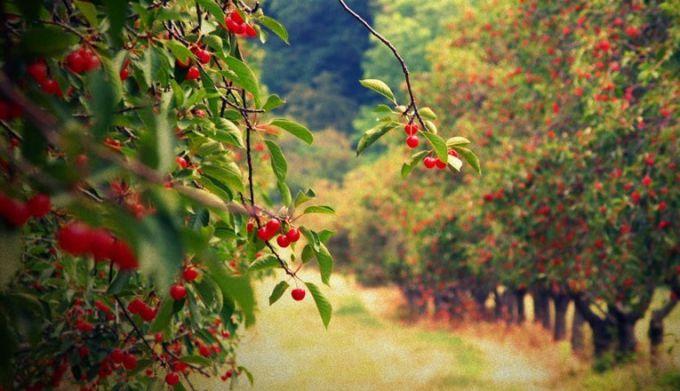Save the cherry harvest