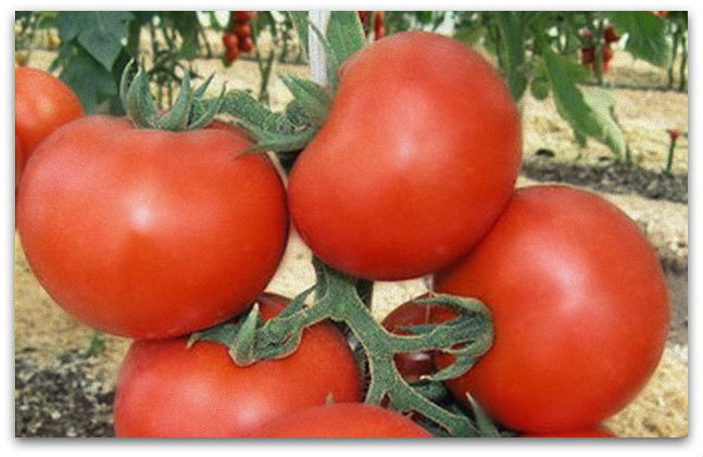 "Universal varieties of tomatoes ""Thick F1"