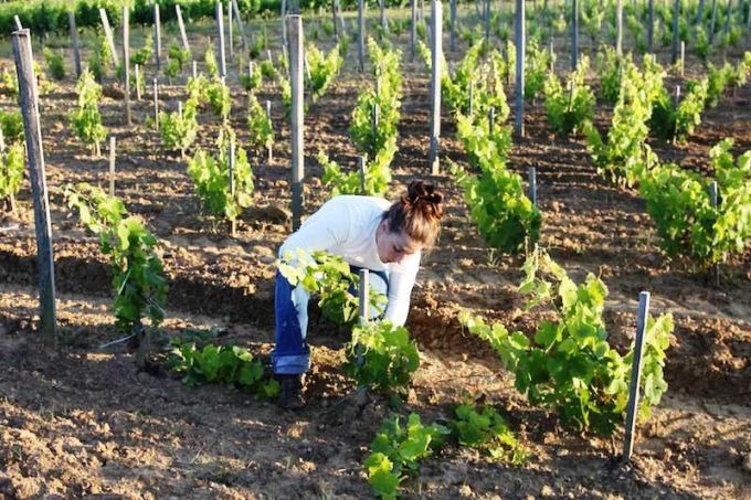 The care of grapes in the spring
