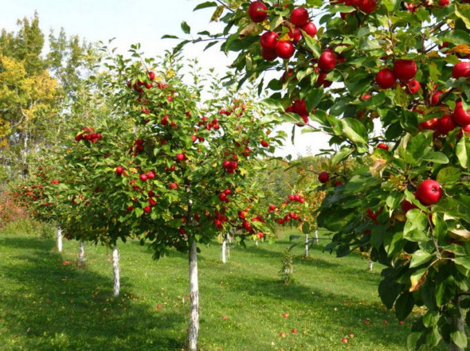 The secrets of good fruit garden