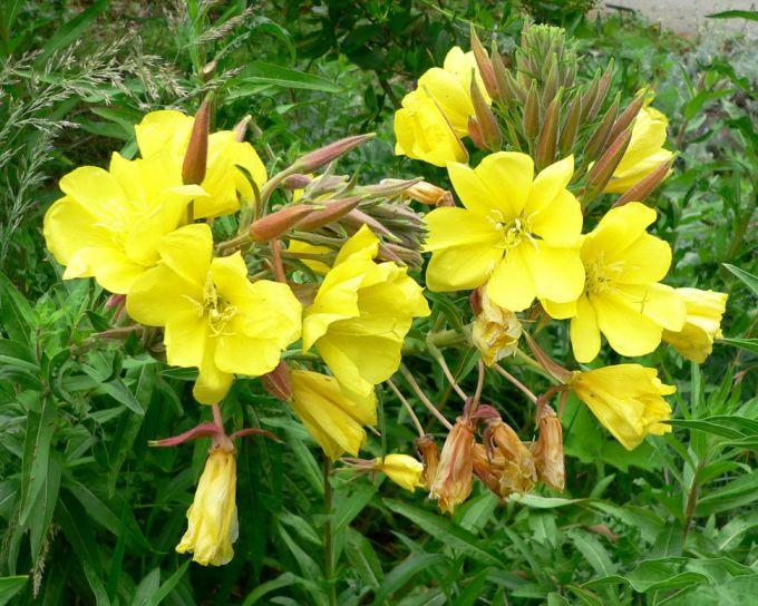 Cosmetic flower - evening primrose