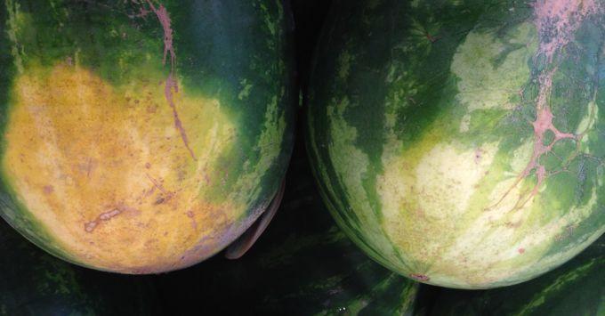 Справа спелый арбуз, слева - недоспелый