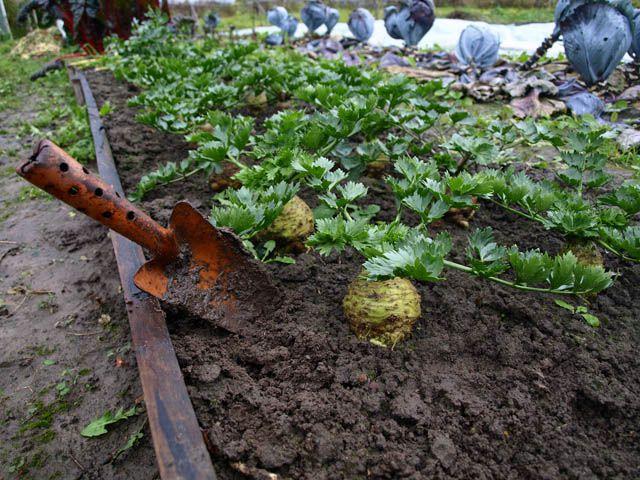 Когда убирать урожай корневого сельдерея