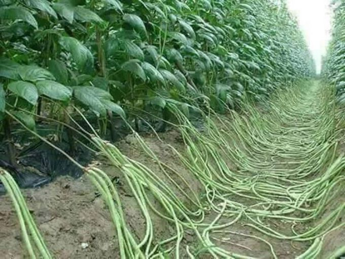 выращивание фасоли, вигны
