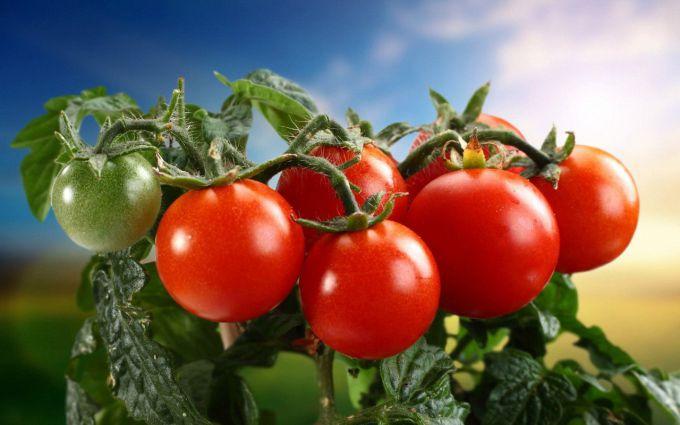 Какие сорта томатов подходят для выращивания на Урале