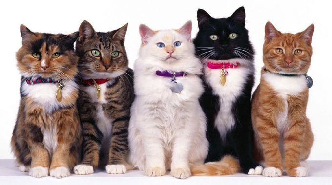 Распространенные кошачьи породы