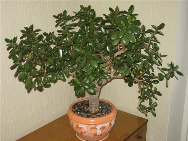 Как пересадить денежное дерево в домашних условиях