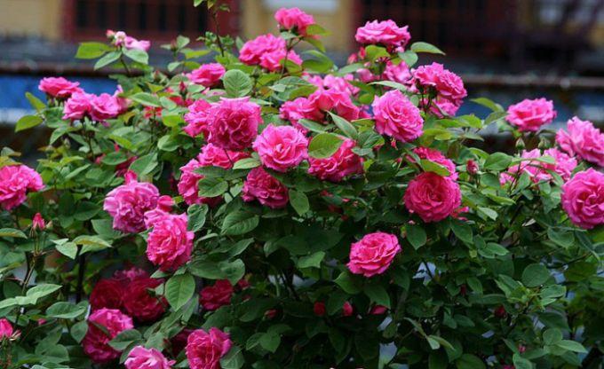 Когда и как укрывать розы осенью перед зимой
