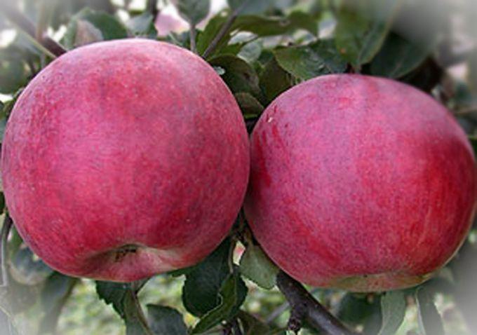 сорт яблони Красное Раннее