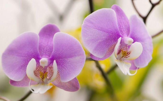 Фаленопсис: уход за орхидеей в домашних условиях