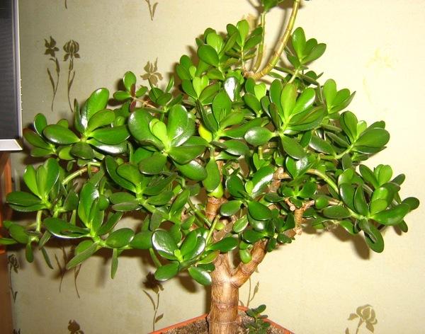 Как вырастить денежное дерево в домашних условиях