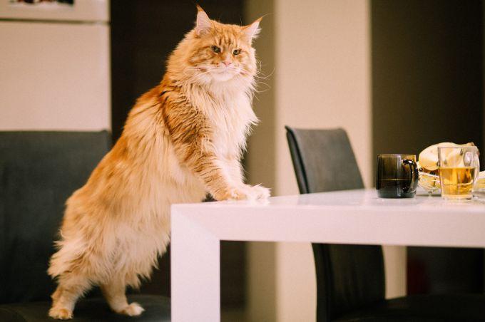 Как отучить кошку от привычки лазить на стол