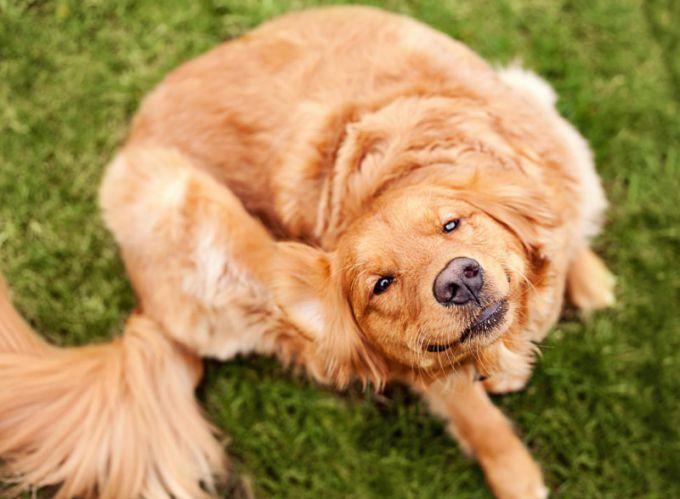 Власоеды у собак: требуется безотлагательное лечение