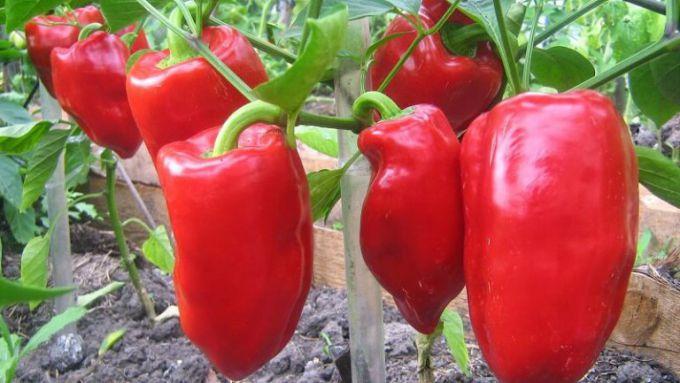 Все любят вкусный и полезный перец, но немногие умеют его выращивать.