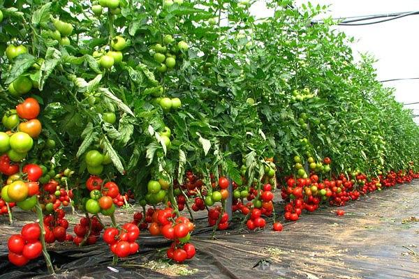 Какие сорта томатов дают самый большой урожай