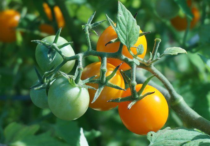 Лучшие сорта томатов для теплиц из поликарбоната для средней полосы