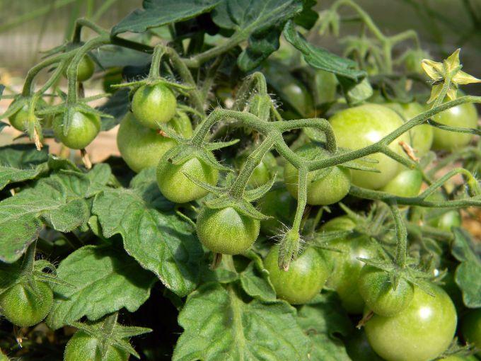 Сколько помидор можно посадить в теплице 4х3, 6х3, 8х3