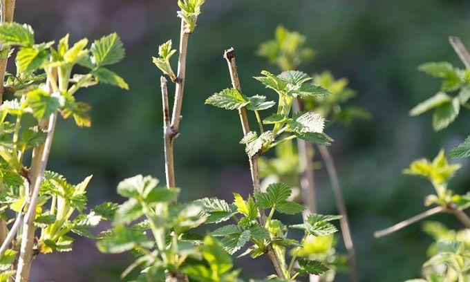Как весной обработать малинник от вредителей и болезней