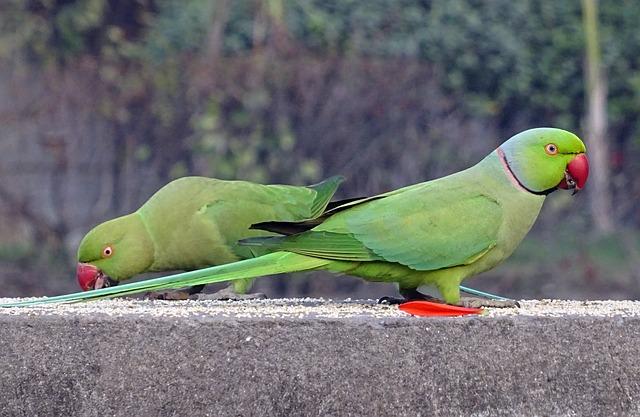 Ожереловый попугай - уход и содержание