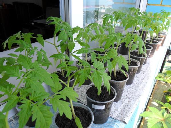 Как нужно ухаживать за рассадой томатов