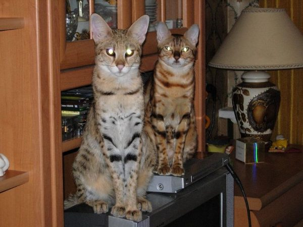 Кошка саванна в России