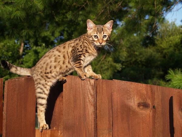 Саванна - смесь сервала и домашней кошки