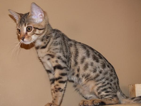 Котенок F5 породы саванна