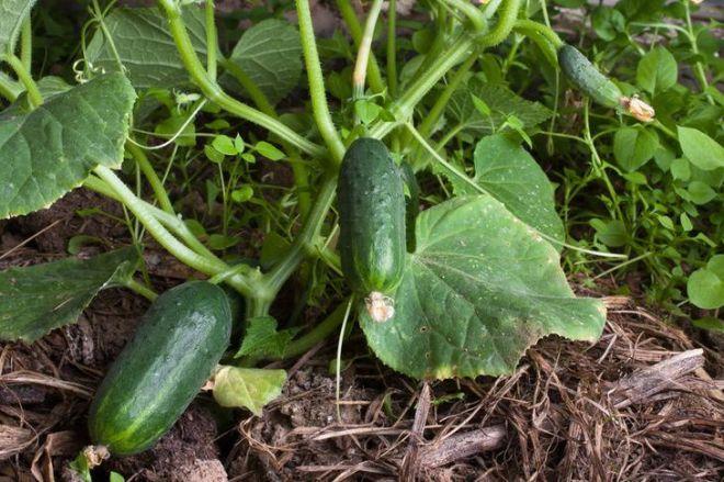 Как правильно посеять огурцы семенами в открытый грунт