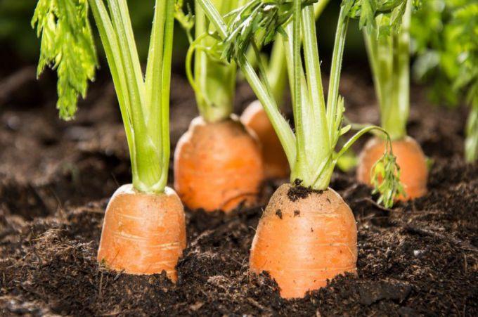 Как часто нужно поливать морковь
