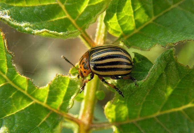 Как избавить огород от колорадского жука