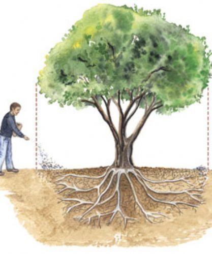 Правильное внесение удобрений - по проекции кроны