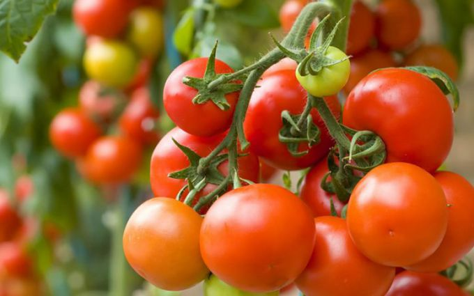 Как защитить помидоры от фитофторы в открытом грунте