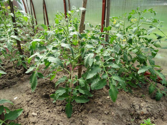 скручивание листьев у помидор