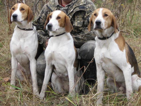Как обучить командам охотничью собаку