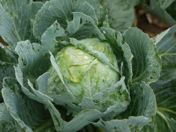 Чем обработать капусту от слизней и гусениц