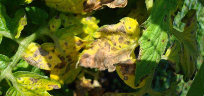 желтеют листья на помидорах