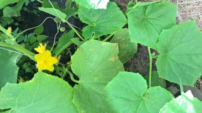 Почему у огурцов листья светло-зеленого цвета