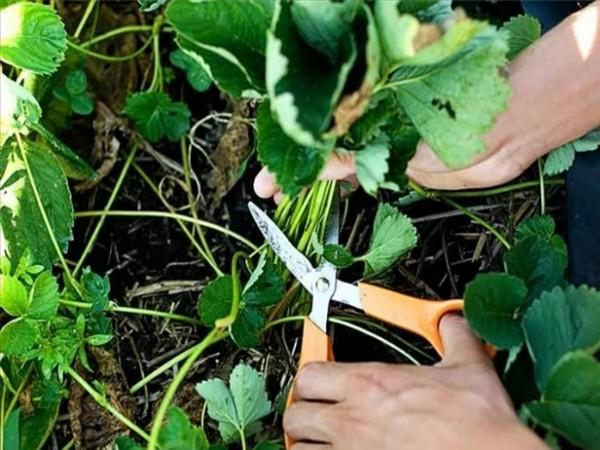 клубника после сбора урожая