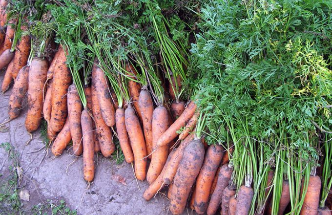 Когда убирать урожай моркови для зимнего хранения