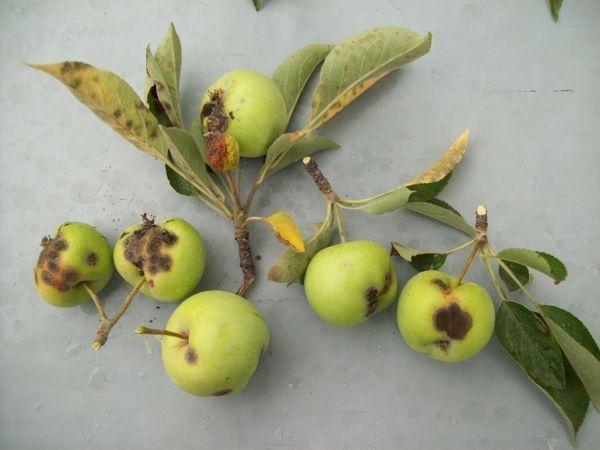 Парша яблони лечение