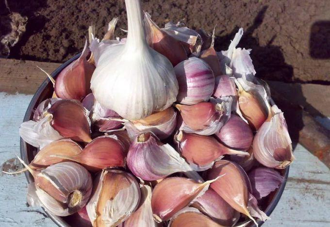 Как сажать чеснок луковичный 15