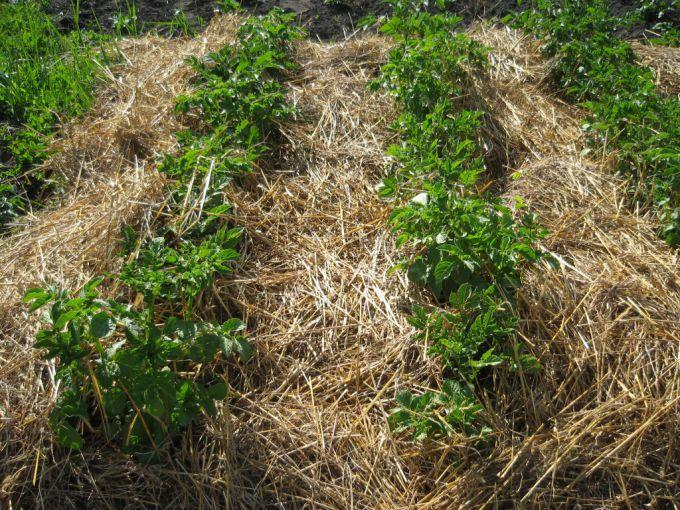 Как не поливать и не полоть огород всё лето