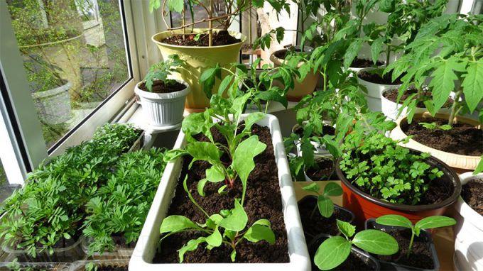 Можно ли вырастить овощи на подоконнике