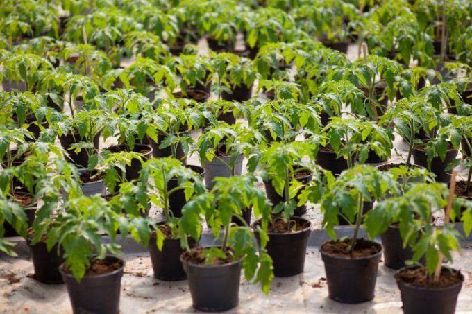 Как сажать семена помидор на рассаду в 2018 году по лунному календарю