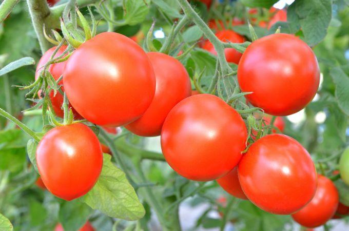 Когда нужно сажать помидоры на рассаду в 2018 году