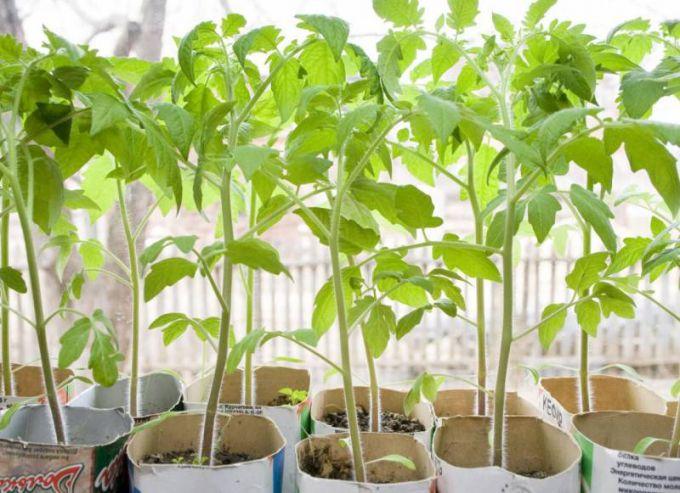 Как вырастить рассаду помидор на подоконнике