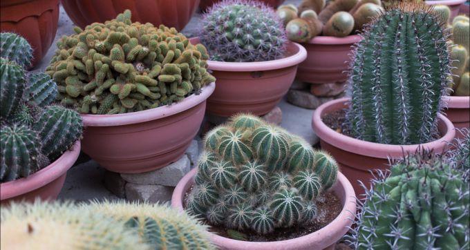 Полезно ли держать в доме кактусы
